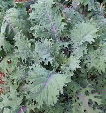 Kale- Red Russian