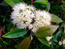 Lemon-scented Myrtle