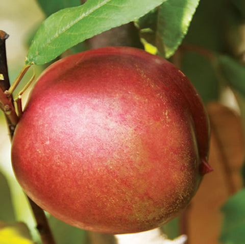 Interspecific. Nectarine-Plum 'Sugar N Spice'