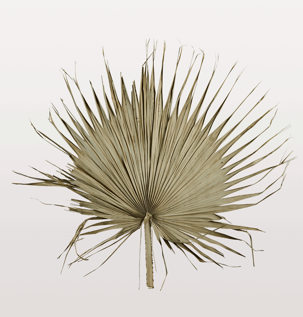 Giant palm leaf. Natural dried palm leaf by Madam Stoltz for wall hanging and room decoration.