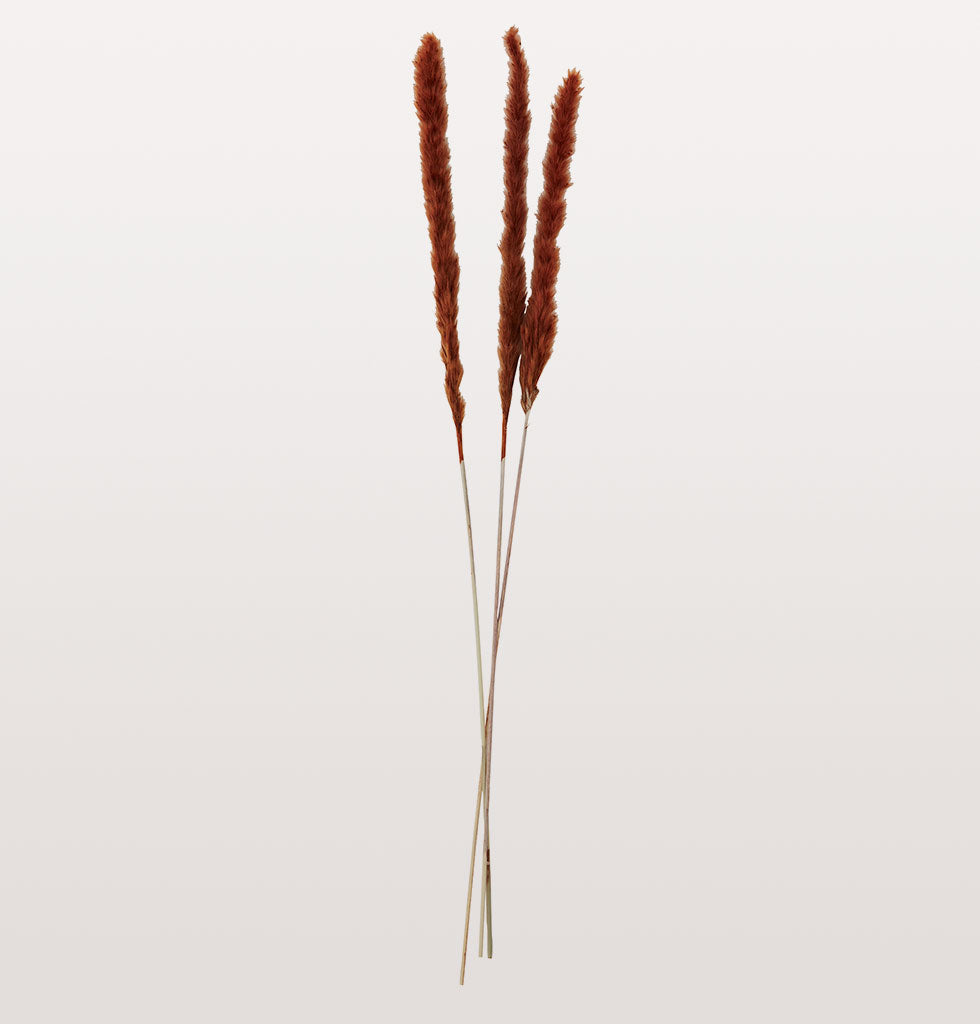 Orange foxtails. Dried and dyed bright orange these long foxtail stems are sold in bunches of 3. Madam Stoltz forever dried flower stems