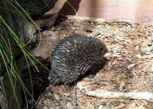 [Blog Post] Australian Animal Facts - The Echidna