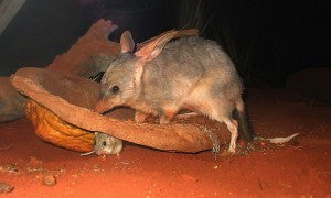 [Blog Post] Australian Animal Facts – The Bilby