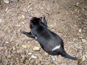 [Blog Post] Australian Animal Facts – The Tasmanian Devil