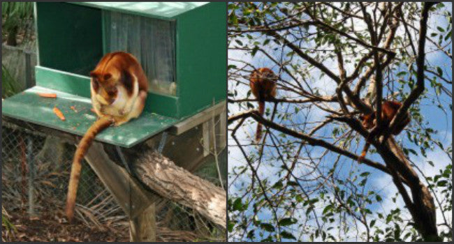 Australian Animal Facts – The Tree Kangaroo