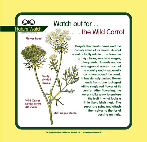 'Wild carrot' Nature Watch Panel