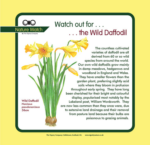 'Wild daffodil' Nature Watch Panel