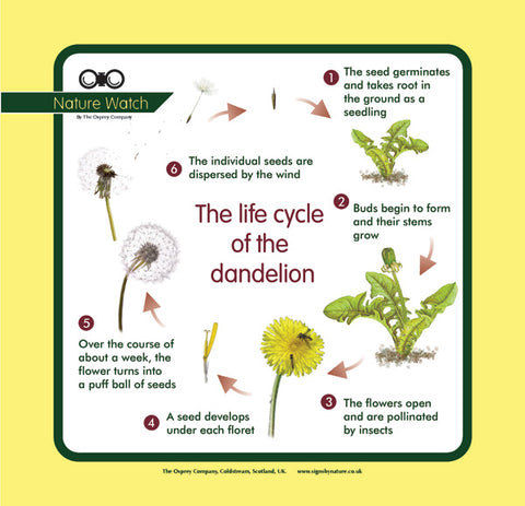 'Dandelion life cycle' Nature Watch Panel