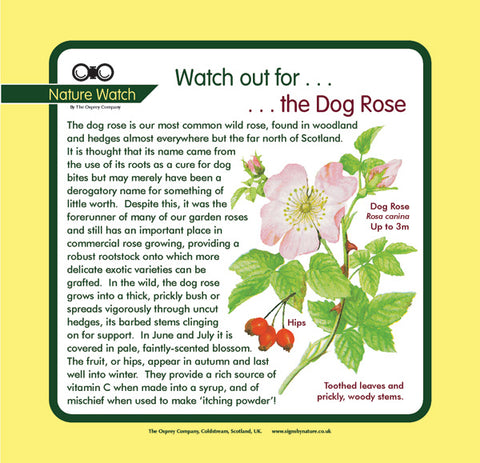 'Dog rose' Nature Watch Panel