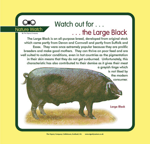 'Large black pig' Nature Watch Panel