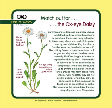 'Ox-eye daisy' Nature Watch Panel