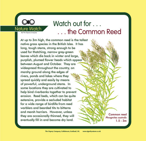'Common reed' Nature Watch Panel