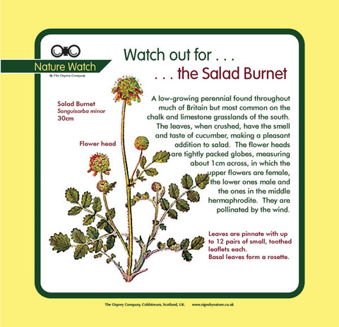 'Salad burnet' Nature Watch Panel