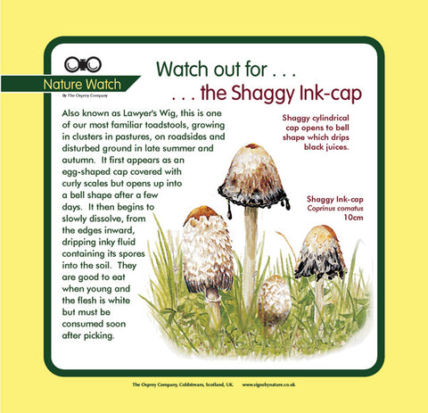 'Shaggy ink-cap' Nature Watch Panel