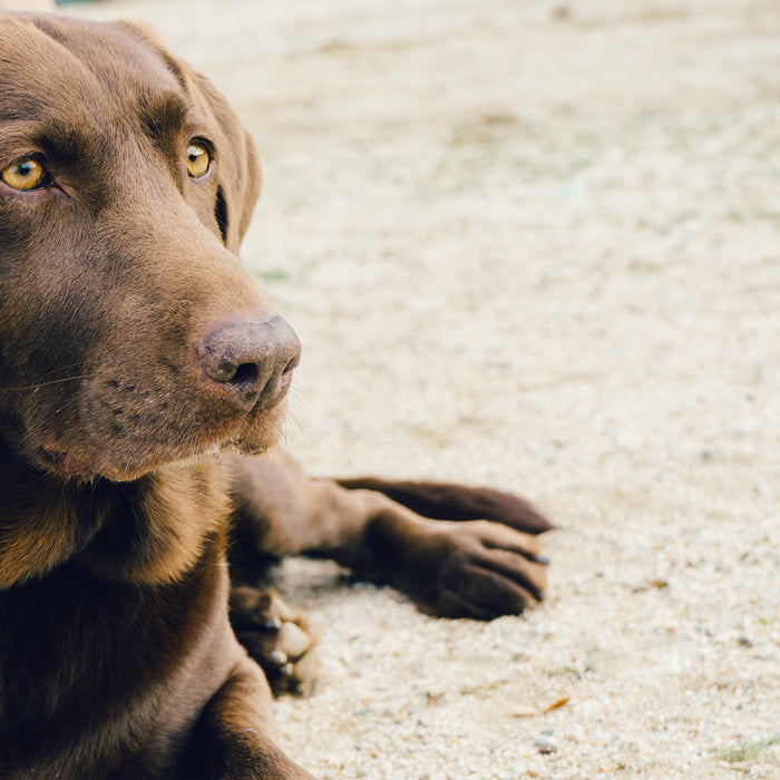 Top 5 Family-Friendly Dog Breeds