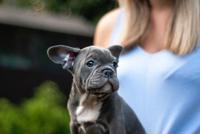 The Challenges Of Breeding French Bulldogs