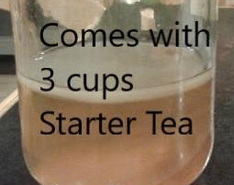 Poseymom larger Kombucha scoby with 3 cups starter tea