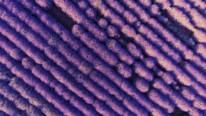 Aerial Views Lavender Fields Forever 2001065