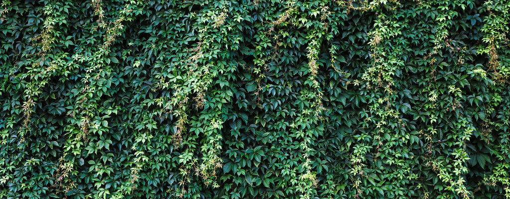 overgrowth climbing ivy leaves nature wallpaper mural
