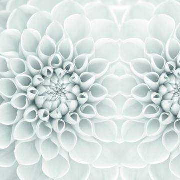 Quattro Dahlia Wallpaper 457038