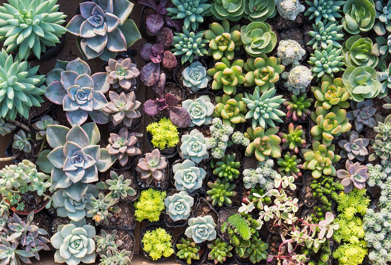 overgrowth diverse succulents living wall wallpaper mural
