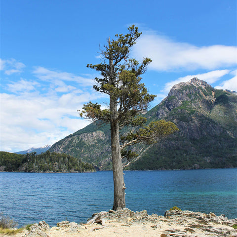 A single tree against a mountain background in Patagonia near Bariloche, Argentina