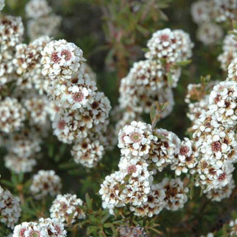 Agonis Fragrans (Fragonia) Essential Oil