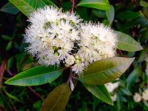 Lemon Myrtle, Organic Essential Oil