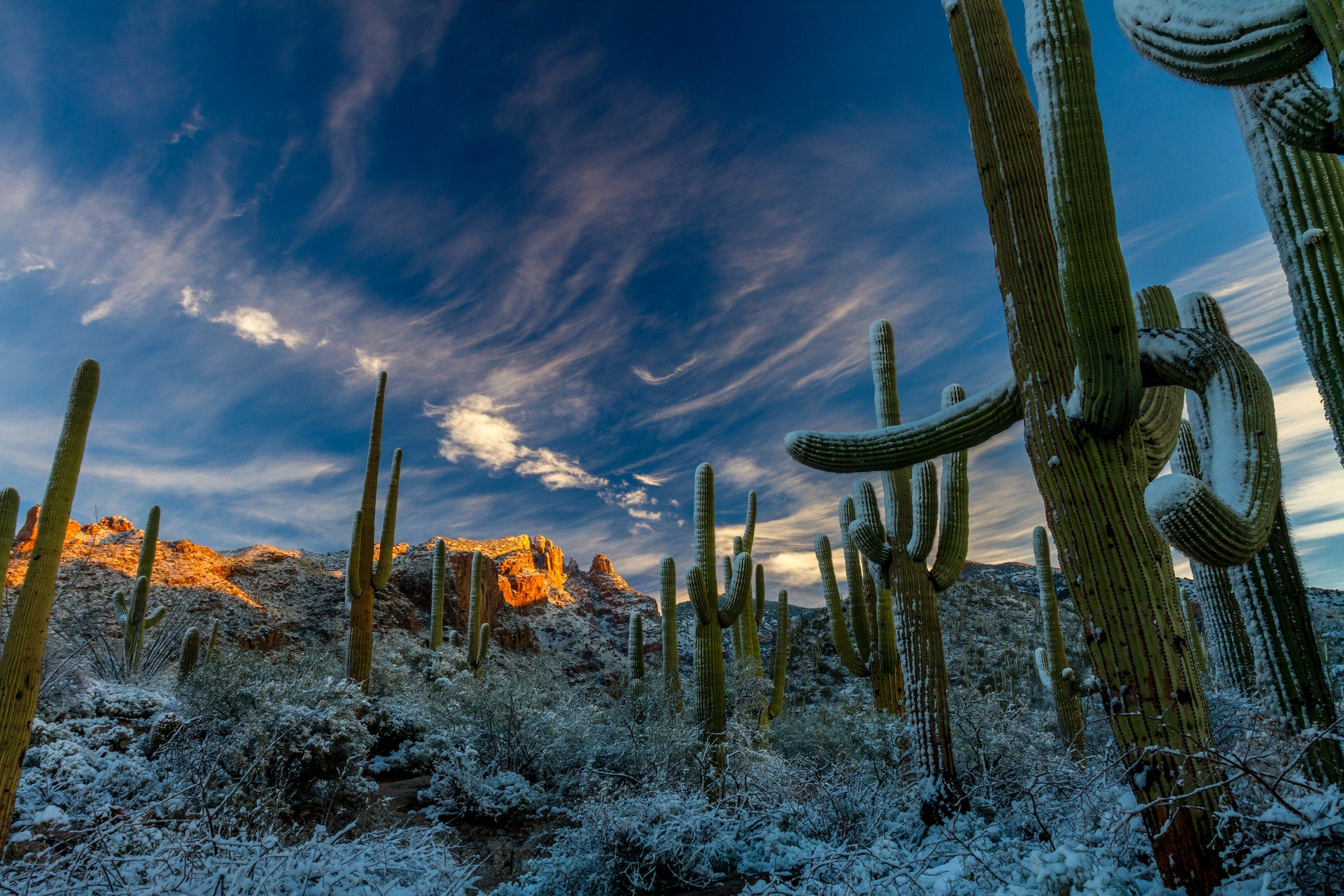 frosty cacti in the desert