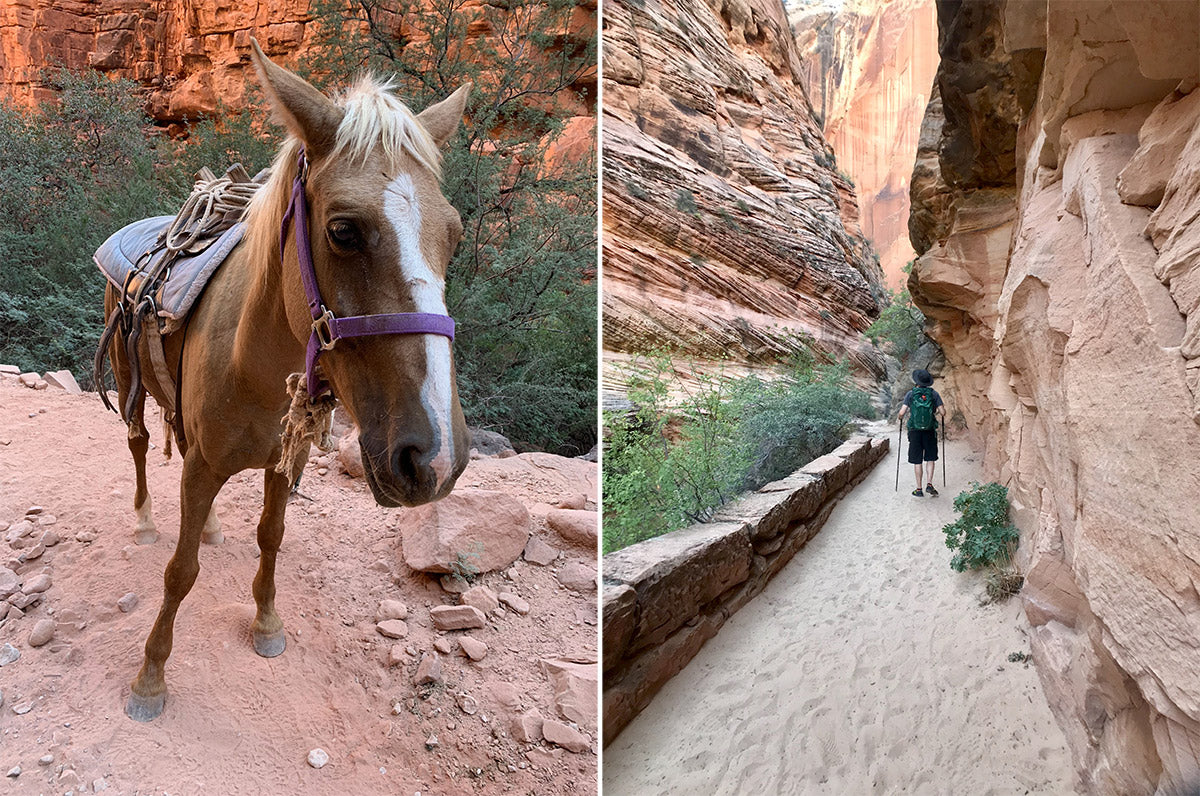 pack mule on the trail to havasupai