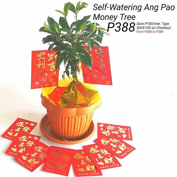 X.                                                                   Self Watering Ang Pao Money Tree (Indoor Plant)