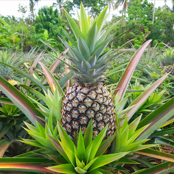 . Pineapple Medium-Large (Per Piece)