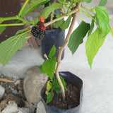 .                                                                   Mulberry Plant 2-4 ft  (Per Piece)