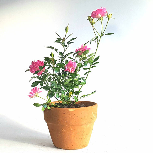 x. Potted Coral Pink Rose Plant (Per Piece) Homegrown Organics (The Home of Purple Corn) : No Minimum Order Terra Cotta (Clay)