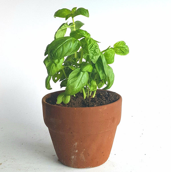 .                   Basil Plant in Clay Pot (Per Pc)