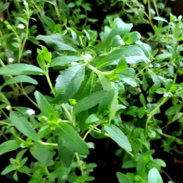 Stevia Plant.Natural Sugar Alternative.(Per plant) Homegrown: Fresh Food, Groceries, Plants and More!