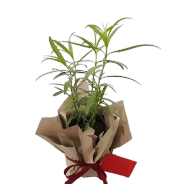 Christmas Tarragon Plant,Ready for Gifting (per piece) Homegrown: Fresh Food, Groceries, Plants and More!
