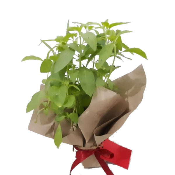 Christmas Mint Plant,Ready for Gifting,Spearmint or Peppermint (per piece) Homegrown: Fresh Food, Groceries, Plants and More!