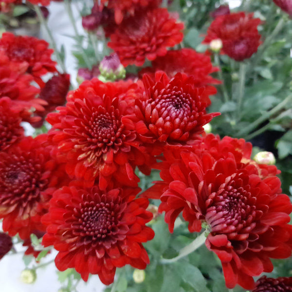Red Malaysian Mums Plant,Flowering (per piece) Homegrown: Fresh Food, Groceries, Plants and More!