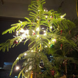 Decorated with Warm Lights, Scented Christmas Tree, Norfolk Pine ~10 inches (Per Plant) Homegrown: Fresh Food, Groceries, Plants and More!