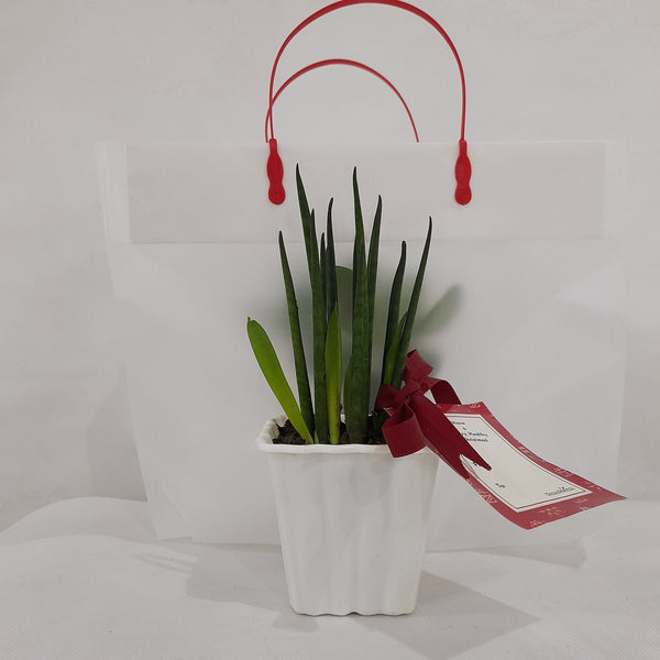 Cylindrical Snake Plant Gift Solo, 2 inches up height (2pcs) Homegrown: Fresh Food, Groceries, Plants and More!