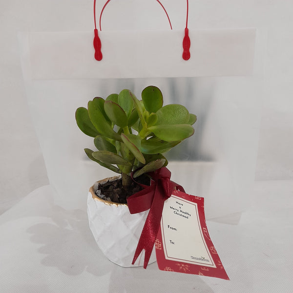 Jade Plant Gift,White Pot,2 inches up (1pc) Homegrown: Fresh Food, Groceries, Plants and More!