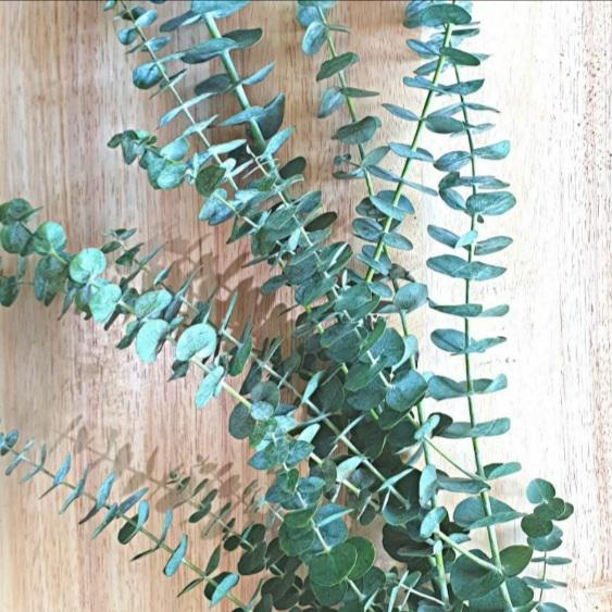 Fresh Eucalyptus Leaves (Per 80g) Homegrown Organics (The Home of Purple Corn) : No Minimum Order