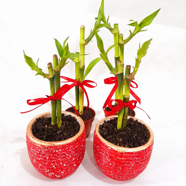 Home Goodluck Plant, Ceramic Red Pot, 2 inches up (per piece) Homegrown: Fresh Food, Groceries, Plants and More!