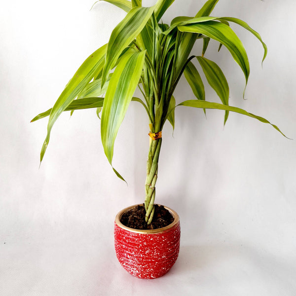 Lucky Bamboo Plant, Ceramic Pot,Braided (per piece) Homegrown: Fresh Food, Groceries, Plants and More!