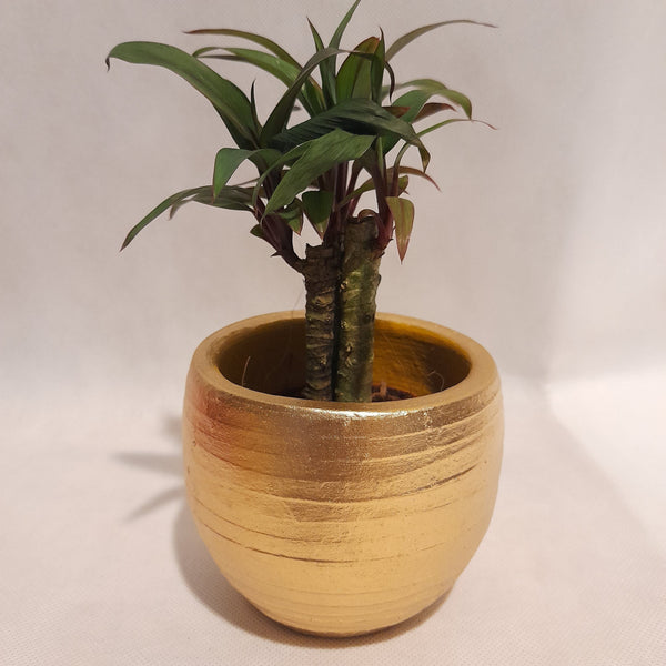 Wishing Plant,Gold Pot,Ceramic, 2 Inches up (per pot) Homegrown: Fresh Food, Groceries, Plants and More!