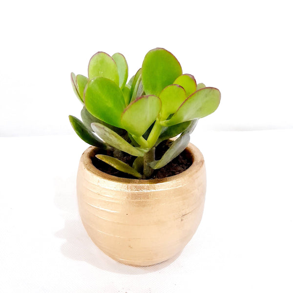 Jade Plant, Gold Ceramic Pot, 2 Inches up (per piece) Homegrown: Fresh Food, Groceries, Plants and More!