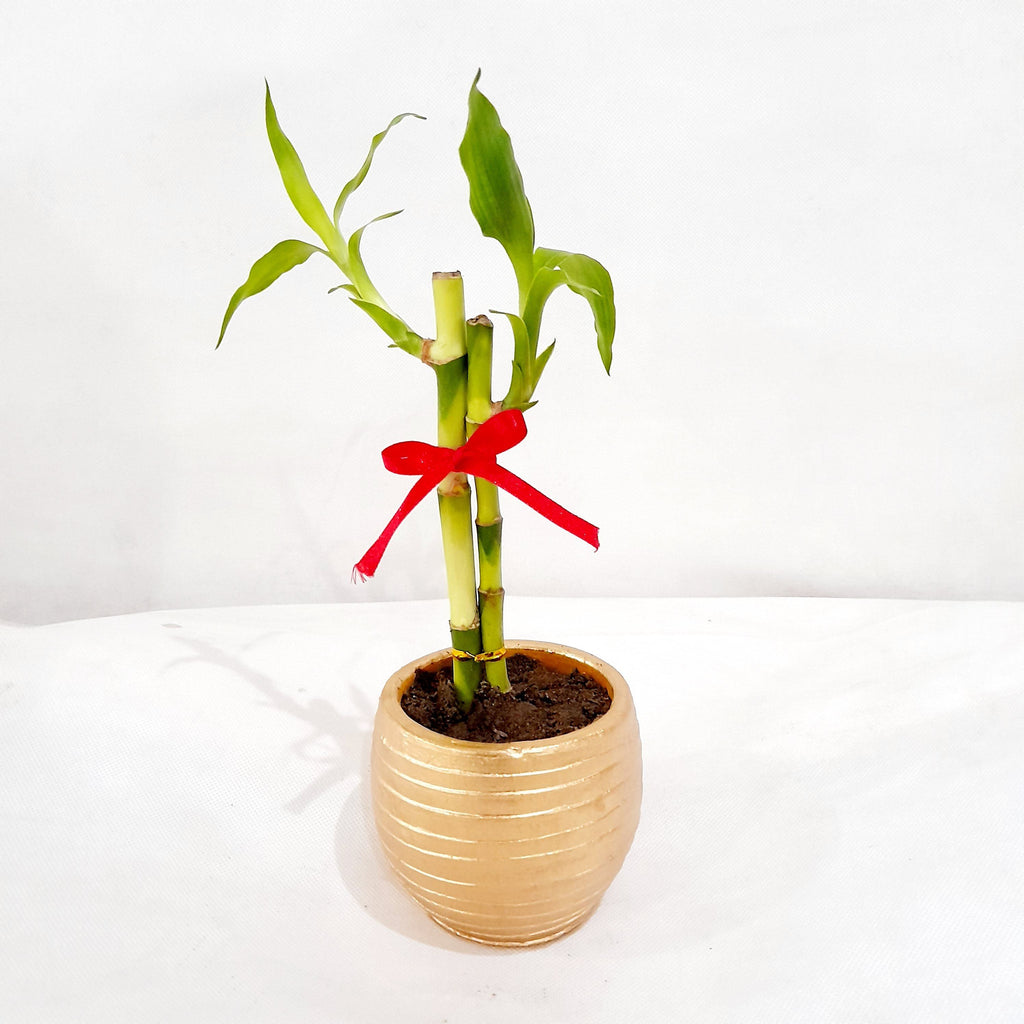 Lucky Bamboo Plant, Gold Ceramic Pot, 2 Inches up (per piece) Homegrown: Fresh Food, Groceries, Plants and More!
