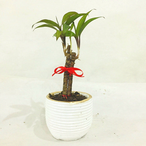 Wishing Plant,White Pot,Ceramic, 2 Inches up (per pot) Homegrown: Fresh Food, Groceries, Plants and More!