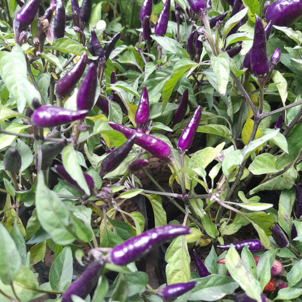 Rare Purple Sili Plant, 5 Inches up (per piece) Homegrown: Fresh Food, Groceries, Plants and More!